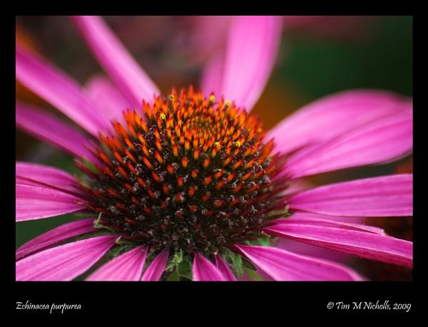 Echinacea purpurea by Ammonyte