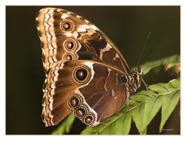 The Butterfly II by dancingqueen