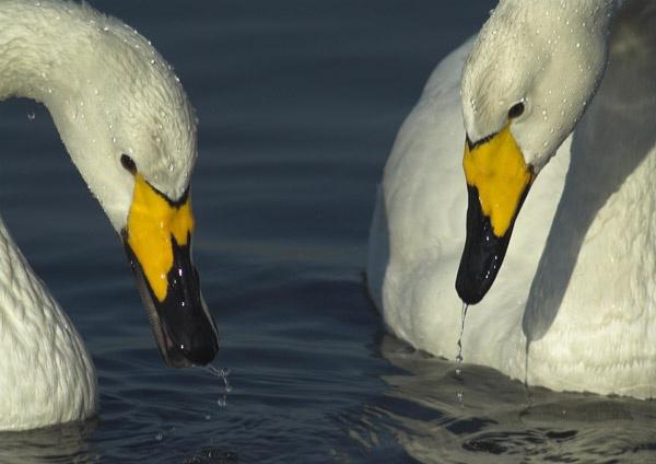 Swans by Phatboy