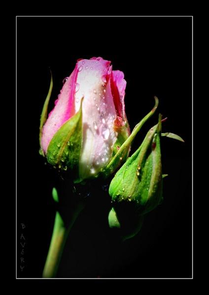 Rose by Bondgirl