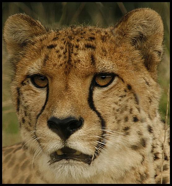 cheetah by maggieh