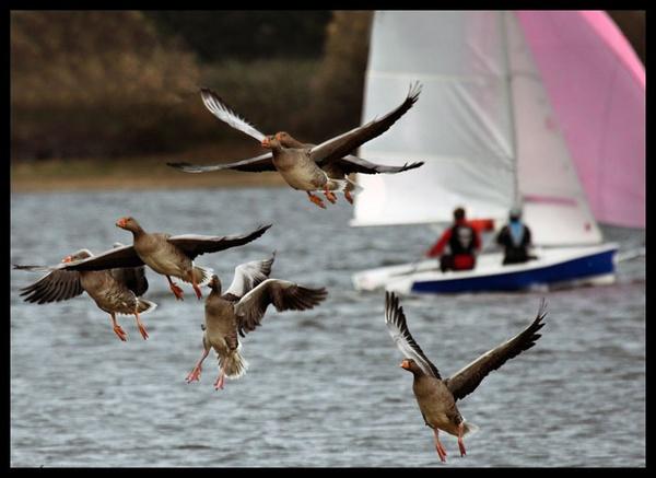 Geese by marathonman