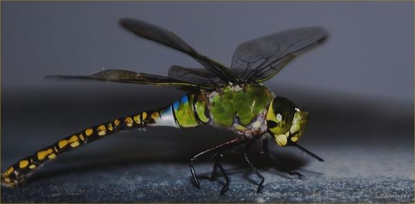 Dragon Fly by Dusan