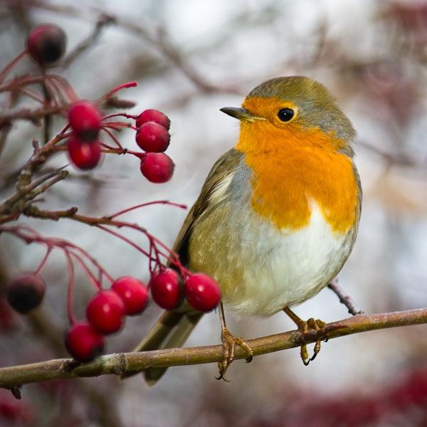 Friendly Robin by bigtench
