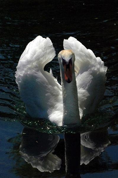 Swan in Moonlight by FabVab