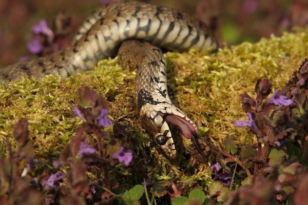 grassnake feigning death by jerrythesnake