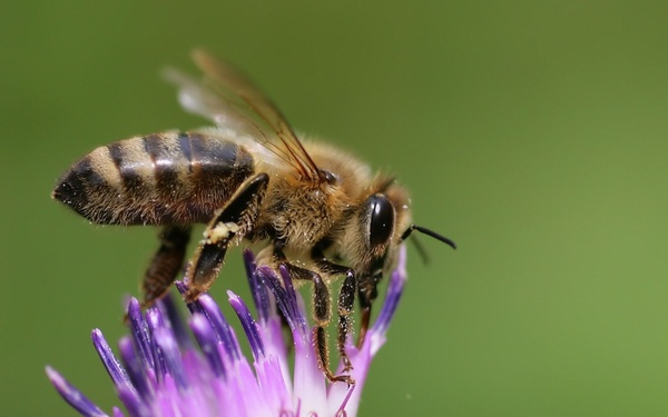 Wild Honey Bee by Northern_Nature