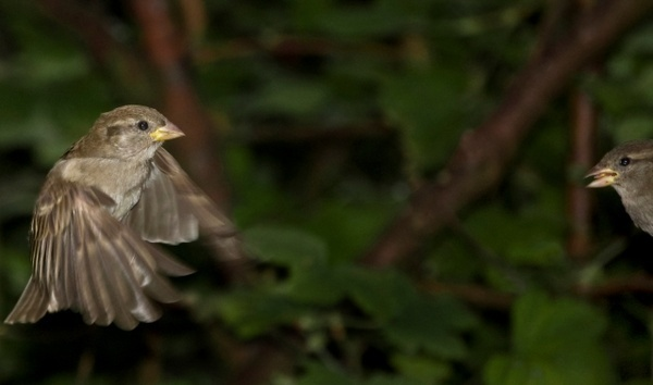 Sparrows by james_murray