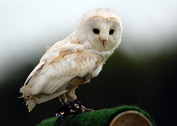 Barn Owl by PJSPhotography