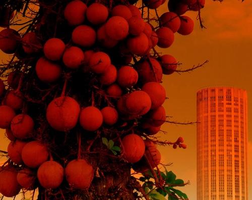 Monkey apricot tree by musashi