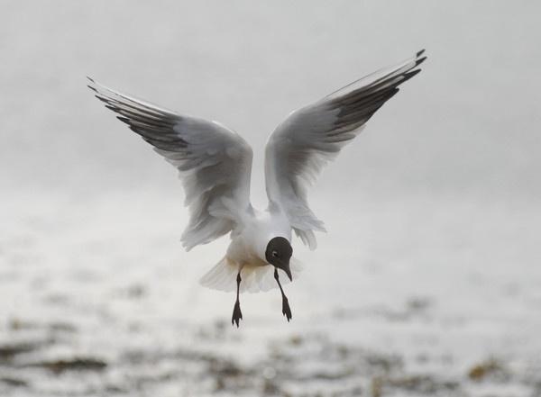 black headedseagull by kieranmccay
