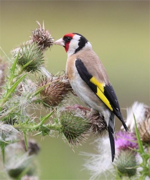Goldfinch by Karna