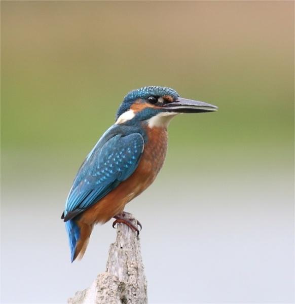 Kingfisher by Karna
