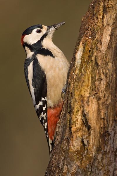 Great spotted woodpecker by Steve_S