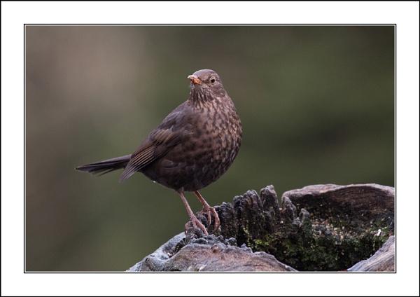 Female Blackbird by casson