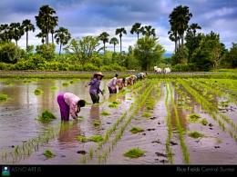 Rice Field, Burma