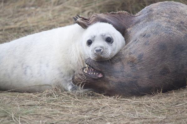 seal pup by sheepdogshady