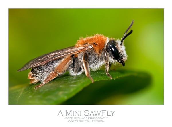 Mini Sawfly by WildLight