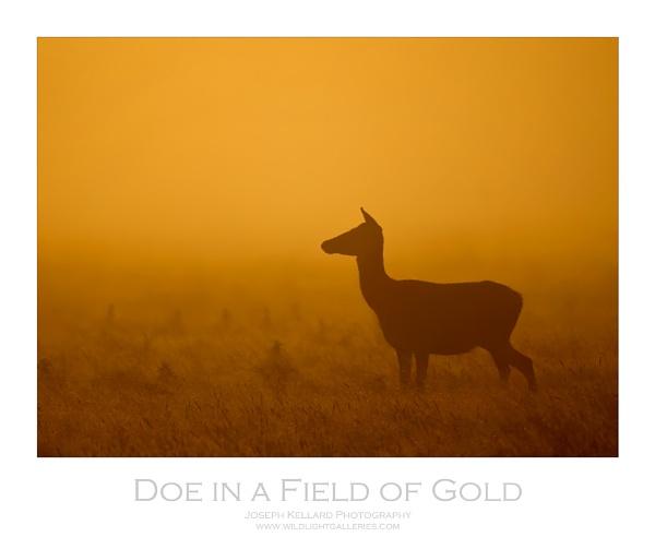 Doe in a Field of Gold by WildLight