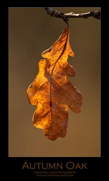Autumn Oak by WildLight