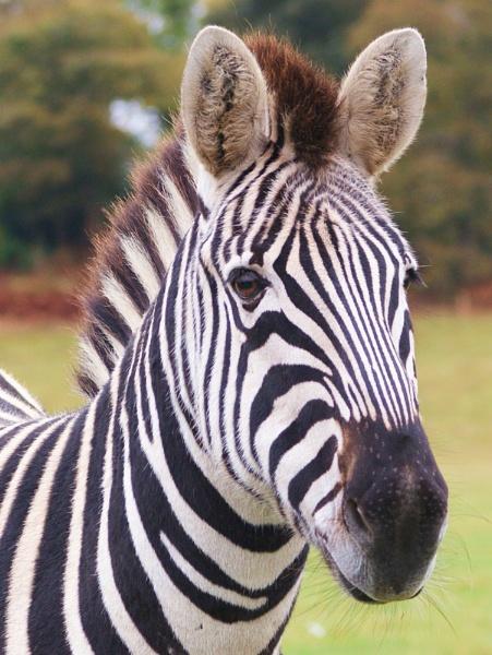 Zebra by SammyRatFan