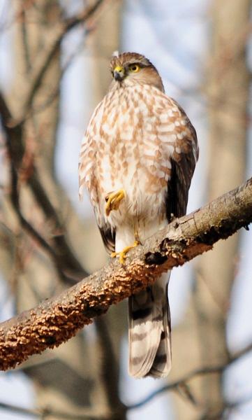 Cooper\'s Hawk? by WaltP