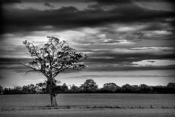 Tree in a Wheatfield by jeni