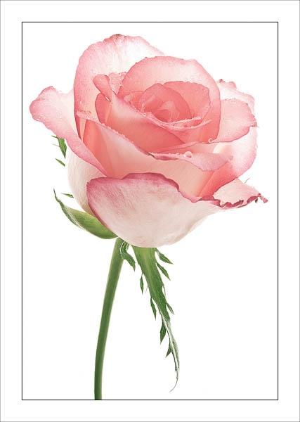 Paper Rose by jeni