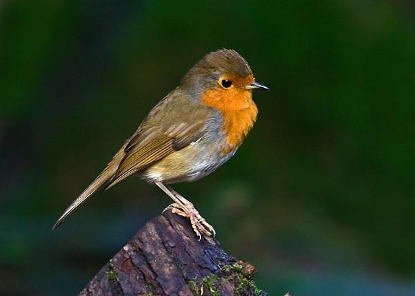 Robin 2 by Lorraine_Wallace