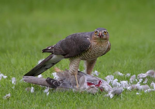 Sparrowhawk by Karen_Summers