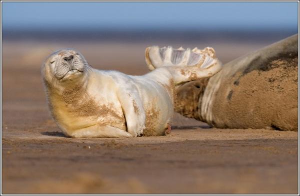 Seal Pup at Donna Nook. by david357