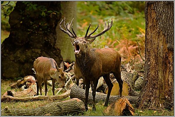 Deer at Richmond by david357