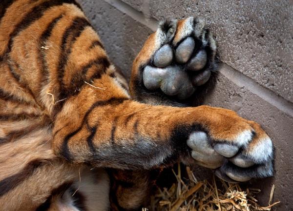 Tiger Feet by baclark