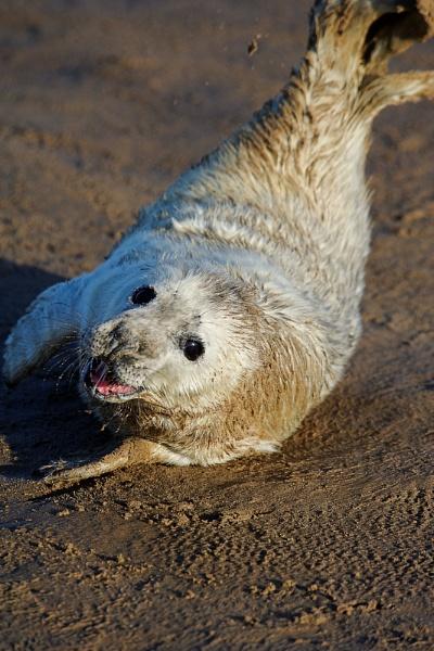 Playful Seal Pup by Carljorgensen