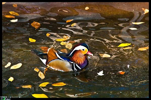 Duck by R3za
