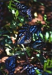 Blue Tiger 2