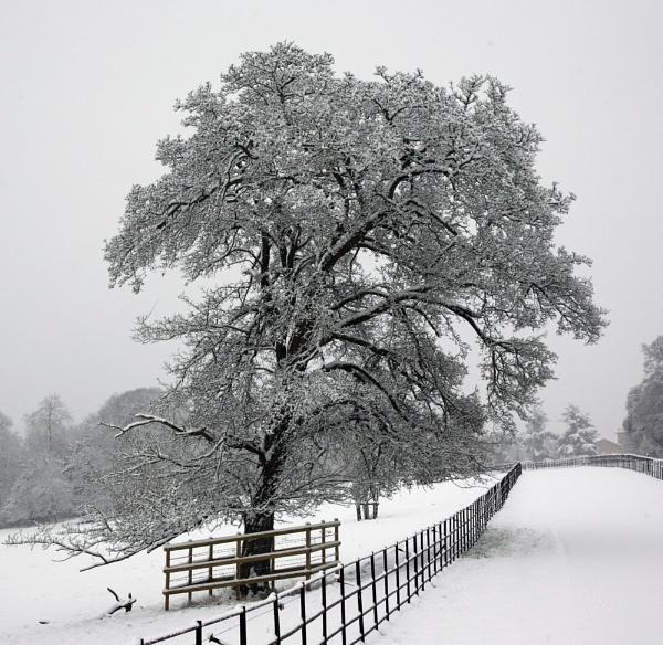 The old Oak by Gaz111