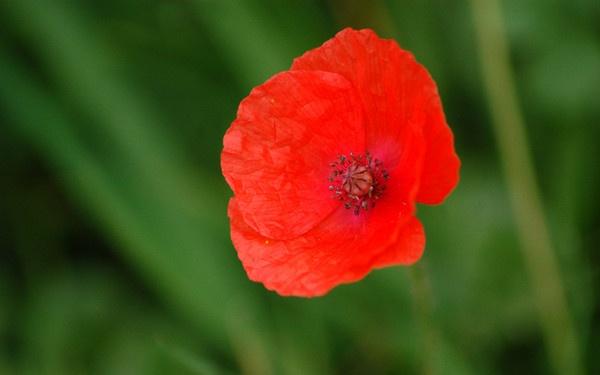 Poppy by JoanMcC