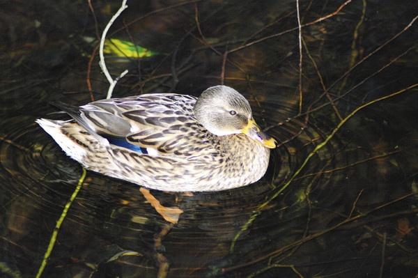 duck 2 by saeidNL