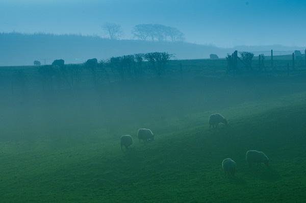 Sheeps by soggsk9
