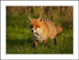 Fantastic Mr Fox 2