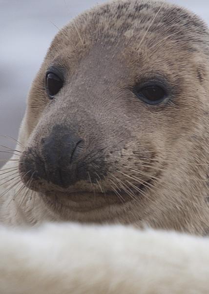 Seal 2 by sheepdogshady
