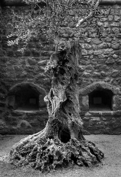 Olive Tree by baclark