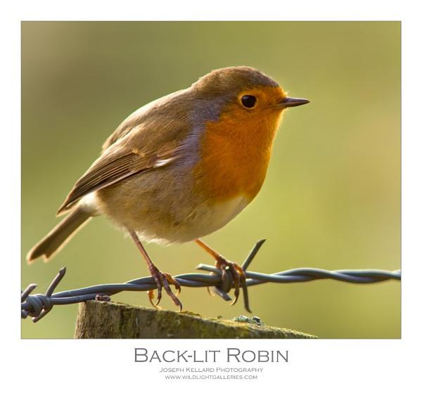 Back-lit Robin by WildLight