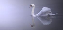 Foggy Swan