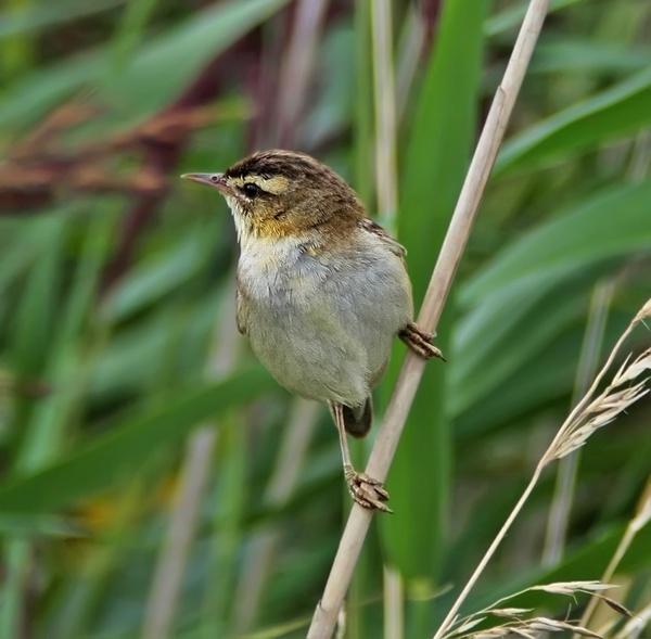 Sedge Warbler by Growmore