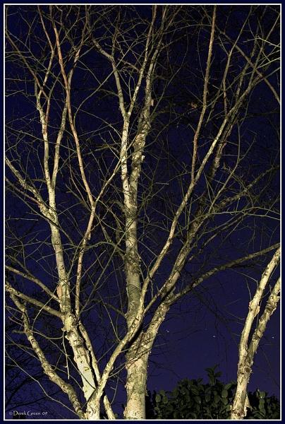 Silver Birch at night. by OMG