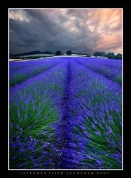 Shoreham Lavender - Portrait