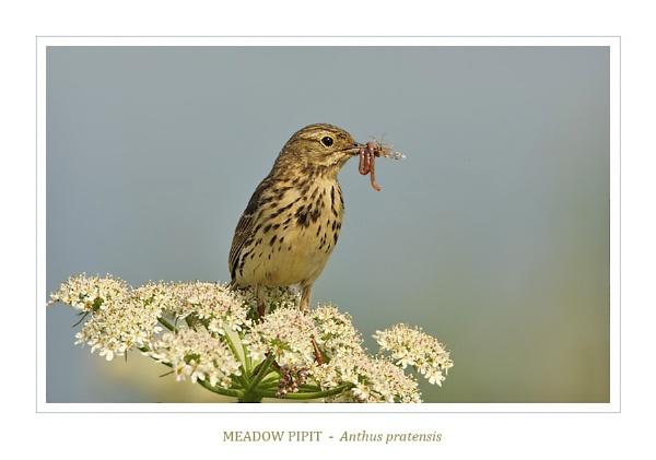 Meadow Pipit by NigelKiteley