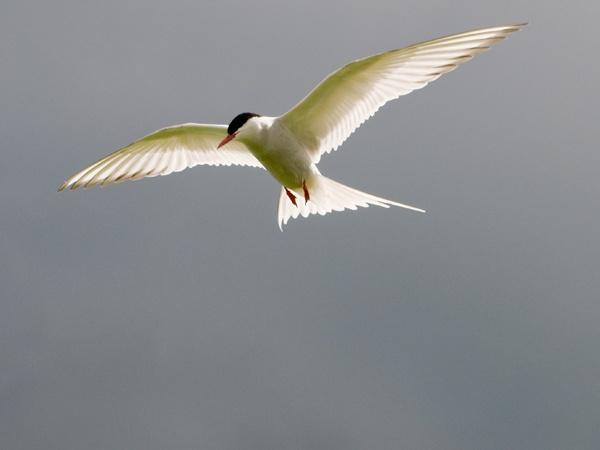 Arctic Tern by edjbartos